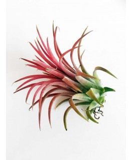 Luchtplant Ionantha Red