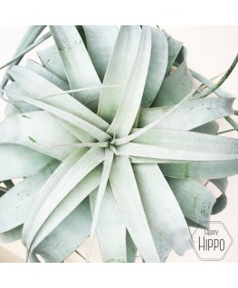 Luchtplant Xerographica Large - Tillandsia Airplant
