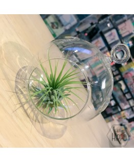 Luchtplant Tillandsia in Glass - Growing Concepts