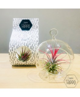 Luchtplant Tillandsia Red in Glass - Growing Concepts