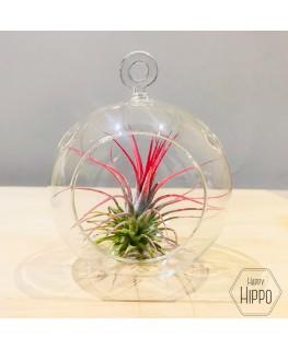 Luchtplant Tillandsia Red in Glass - Meneertje Haas